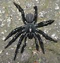 Large spider - Ummidia