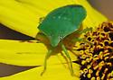 Southern Green Stink Bug - Nezara viridula