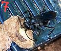 Blue Mud Wasp (Chalybion californicum)? - female