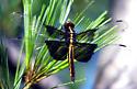Widow Skimmer. Libellula luctuosa. - Libellula luctuosa - female