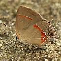 Red-banded Hairstreak - Hodges#4299 - Lateral - Calycopis cecrops