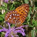 Great Spangled Fritillary On Beebalm Flower - Speyeria aphrodite - male