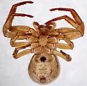 Xysticus acquiescens - ventral - Xysticus acquiescens - female