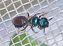 Ceratina cobaltina - female