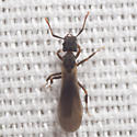 Square-headed Ant - Cyphomyrmex rimosus