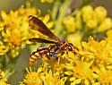 Wasp 470A 2907 & 2912 - Poecilopompilus algidus - male