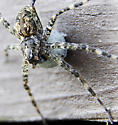 They have egg sacs - Dolomedes tenebrosus - female