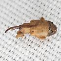 Ligustrum Weevil - Ochyromera ligustri