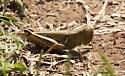 Differential grasshopper - Melanoplus differentialis - female
