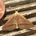 moth - Macaria varadaria - male