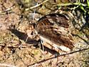 Butterfly/moth - Junonia coenia