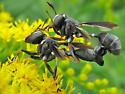 Thick headed flies - Physocephala tibialis - male - female