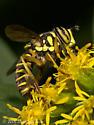 Syrphid Fly - Spilomyia longicornis