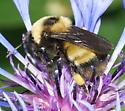 Bombus sp. - Bombus nevadensis - female