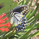 Black Swallowtail - form pseudoamericus - Papilio polyxenes - female