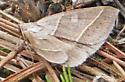 Owlet Moth - Ptichodis herbarum - female
