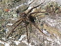 Large fishing spider - Dolomedes scriptus