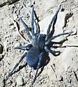 Large very blue spider - Tigrosa aspersa