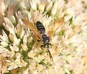 Sand Wasp? - Tachytes