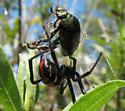 Black widow? w/Japanese beetle prey - Latrodectus variolus