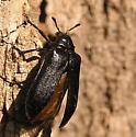 Sandalus niger? - Sandalus niger - female