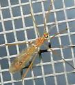 Limoniidae - male