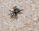 ID this jumping spider? - Salticus scenicus