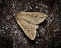 Moth on tree at bait - Mythimna unipuncta