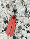 Lycid? - Dictyoptera simplicipes