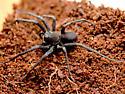 All Black Geolycosa rafaelana - Geolycosa rafaelana - male