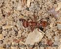 3025205 ant - Olibrus - female