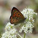 Lustrous Copper ? - Lycaena cupreus