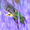 Metallic Green Sweat Bee - Agapostemon virescens - female