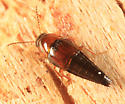 rove beetle - Tachyporus