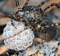Spitting Spider - Scytodes - female