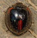 red & black lady beetle - Axion tripustulatum
