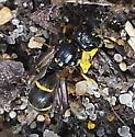 Symmorphus