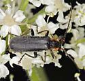 Male of new Podabrus species for BG? - Podabrus latimanus - male