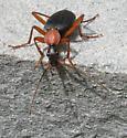 Beetle005 - Galerita bicolor
