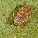 Carpet Beetle? - Demotina modesta