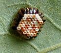 Assassin Bug Egg Mass - Zelus
