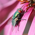 blow fly - Lucilia - female