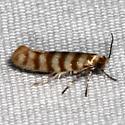 moth - Argyresthia