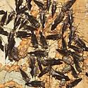 Common Barklouse Herd - Cerastipsocus venosus