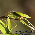 Katydid - Scudderia furcata - male - female