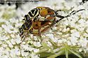 Mating Delta Flower Scarab Beetles - Trigonopeltastes delta - male - female