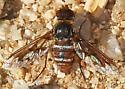 Non-mating bee fly - Exoprosopa doris