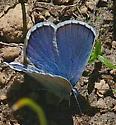 Anna's Blue - Plebejus anna - male