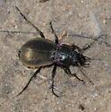 Calosoma? from Northern Michigan - Carabus nemoralis