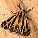 Tiger Moth - Apantesis nais